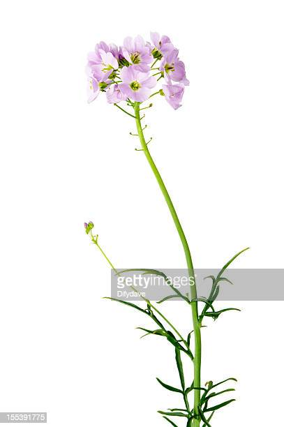 cuckoo flower (cardamine pratensis) - wildflower stock pictures, royalty-free photos & images