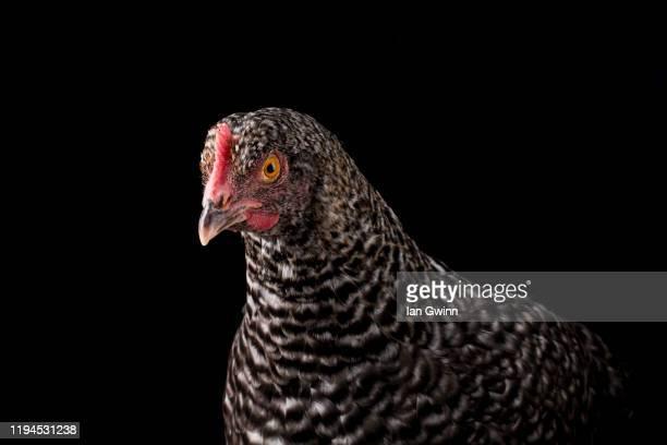 cuckoo maran hen_2 - ian gwinn fotografías e imágenes de stock