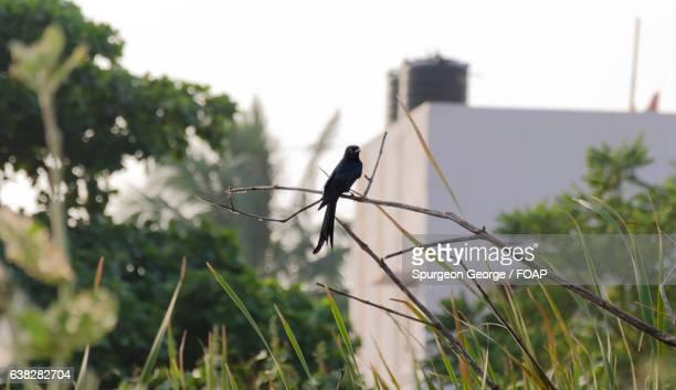 Cuckoo perching on branch