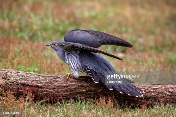 cuckoo resting and calling out - birdsong stock pictures, royalty-free photos & images