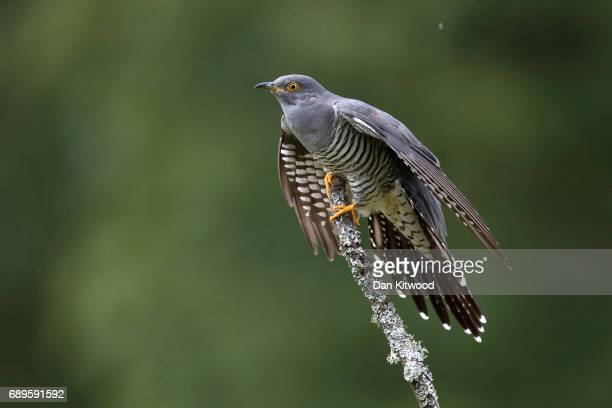 Cuckoo sits on a perch in woodland on Thursley Common on May 28 2017 in Thursley England The United Kingdom has seen a 71 percent decline in the...