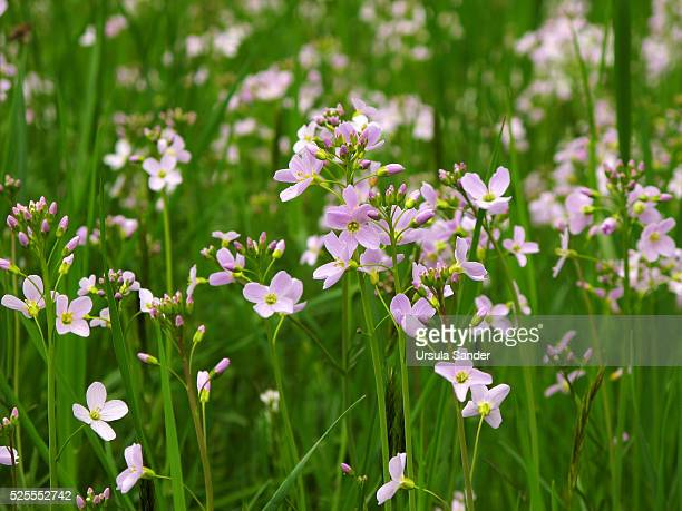 cuckooflower or lady's smock (cardamine pratensis) in meadow - milk maid stock photos and pictures