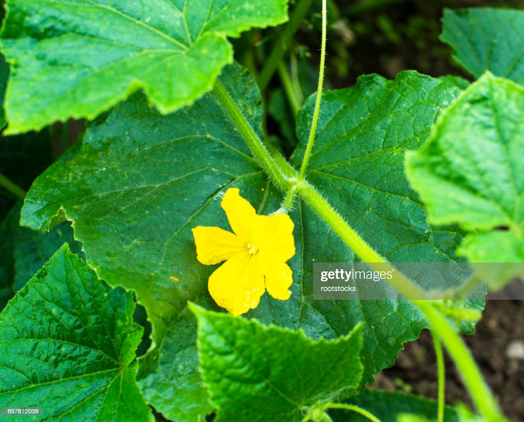 Cucumber Yellow Flower And Green Leaves Stock Photo Getty Images