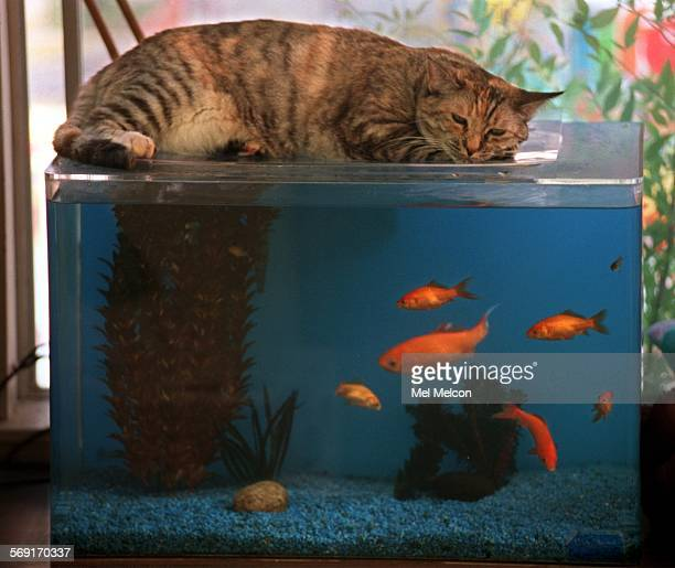 Cuddles a 5 year old cat adopted by Judy Shepherd of Simi Valley eyes the occupants of a goldfish tank while lying down above it