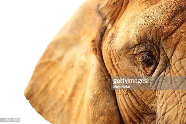 'Cuddles' a female African Elephant is seen at Taronga Western Plains Zoo on April 20 2012 in Dubbo Australia The popular 35 year old Dubbo zoo is...