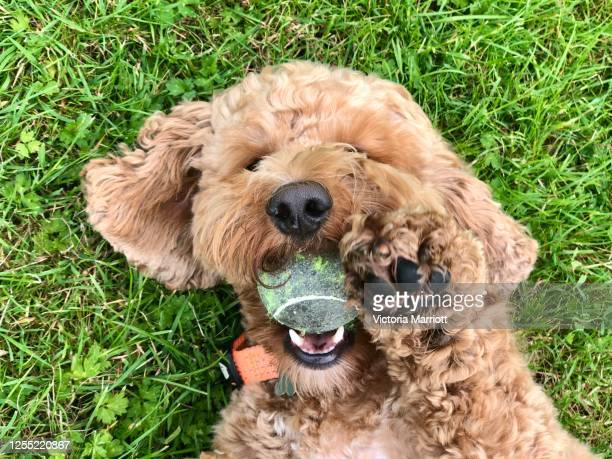 cuddly dog waving hello - cockapoo stock pictures, royalty-free photos & images