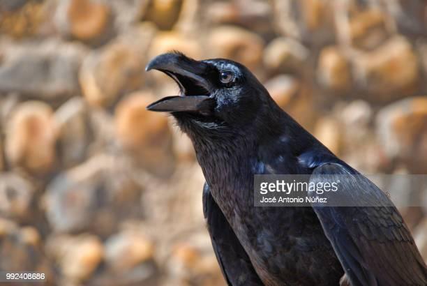 cuervo - schnabel stock-fotos und bilder