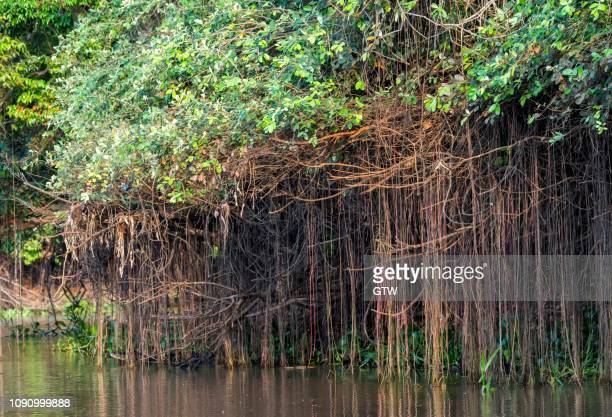 cuiaba river, mangroves, pantanal, mato grosso, brazil - cuiaba river stock pictures, royalty-free photos & images
