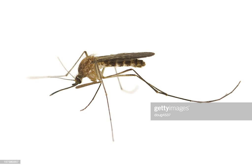 Culex Mosquito : Stock Photo