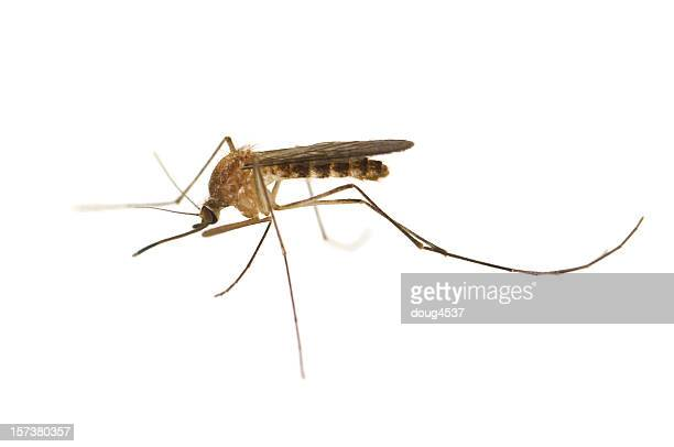 culex mosquito - mosquito imagens e fotografias de stock