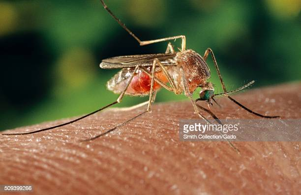 A Culex quinquefasciatus mosquito on a human finger The Culex quinquefasciatus mosquito is proven to be a vector associated with transmission of the...