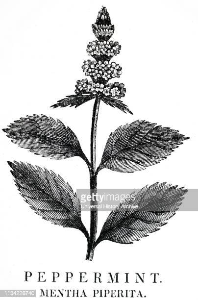 Culinary flavouring and a medicinal Carminative and anti-spasmodic. From Robert John Thornton's 'A New Family Herbal', London, 1810. An engraving by...