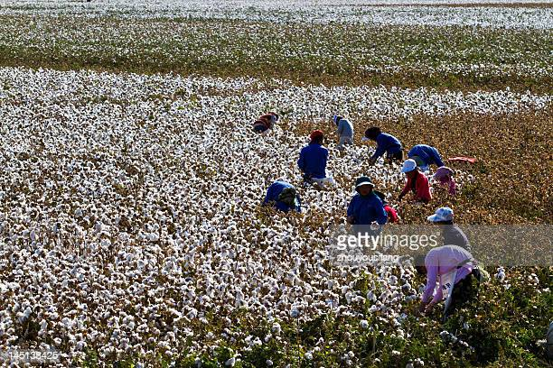 Cull cotton