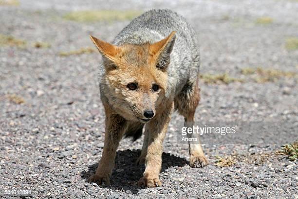 Culpeo zorro or Andean fox , Altiplano, Bolivia.