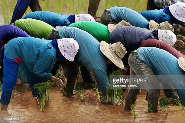 CONTENT] Cultivando arroz en Thailandia