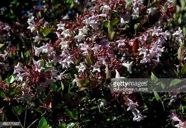 Cultivar of Abelia sp Caprifoliaceae