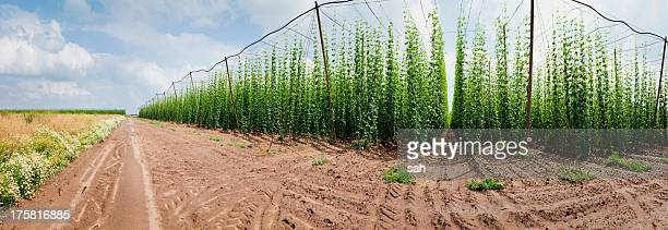 Cultivated hop plants