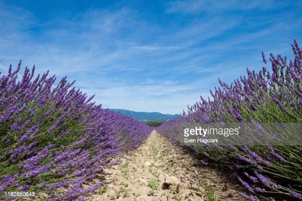 cultivated lavender growing in a field - provence alpes côte d'azur photos et images de collection