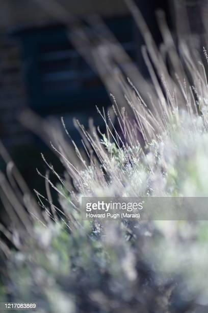 cultivated lavender plant beds - howard pugh stock pictures, royalty-free photos & images