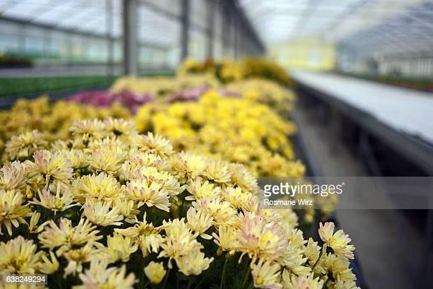 Cultivation of chrysanthemums  in a greenhouse
