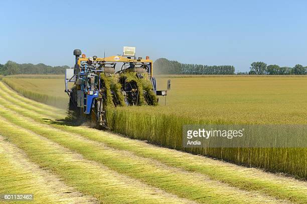 Cultivation of flax Flax harvest uprooting in SaintOuenduBreuil