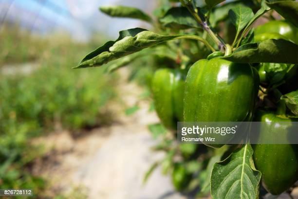 cultivation of green pepperoni in a greenhouse - pimiento verde fotografías e imágenes de stock
