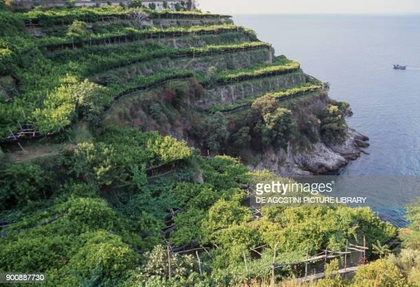 Cultivation of lemon trees Amalfi Coast Campania Italy