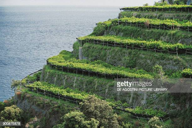 Cultivation of lemon trees near Ravello Amalfi Coast Campania Italy