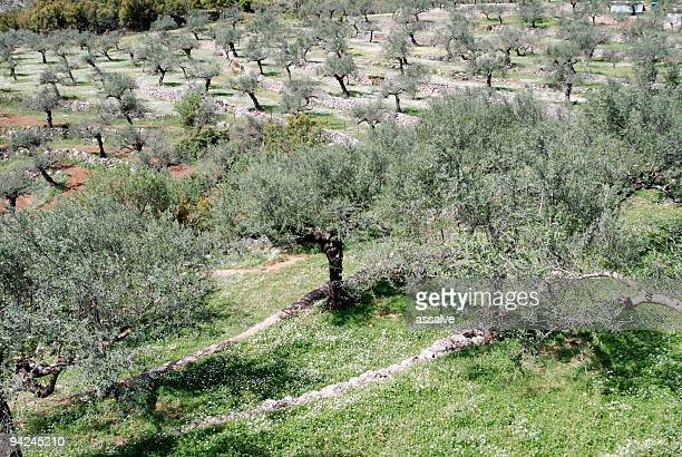 cultivation of olive trees on terraced field - kalamata olive stock pictures, royalty-free photos & images
