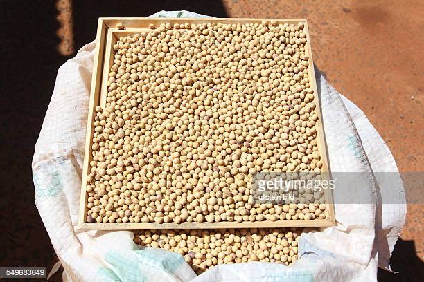 cultivation of soybeans