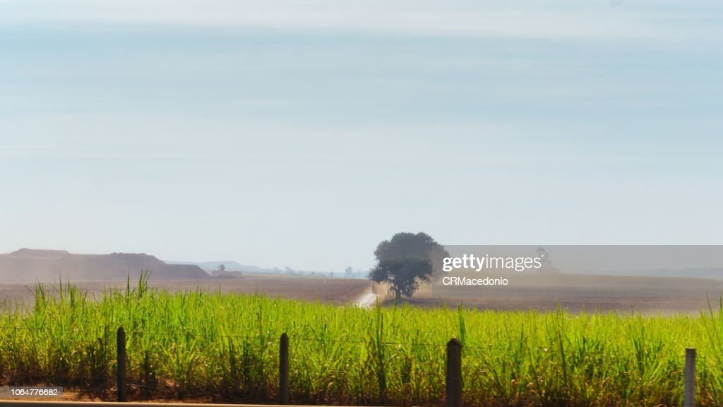 Cultivation of sugarcane in the interior of the State of São Paulo. : Stock Photo