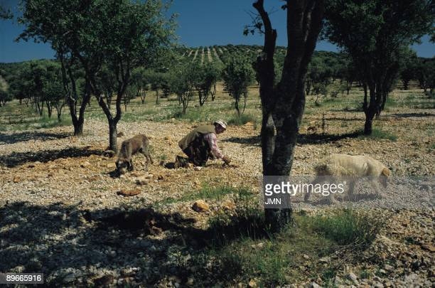 ´Cultivation of the truffle´ Looking for truffles Soria ´Cultivation of the truffle´ A farmer helped by dogs looking for truffles valuable eatable...