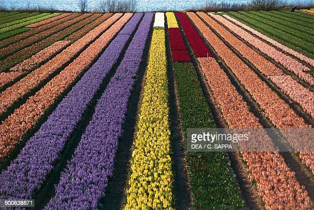 Cultivation of tulips and other bulbous plants near Lisse South Holland Netherlands