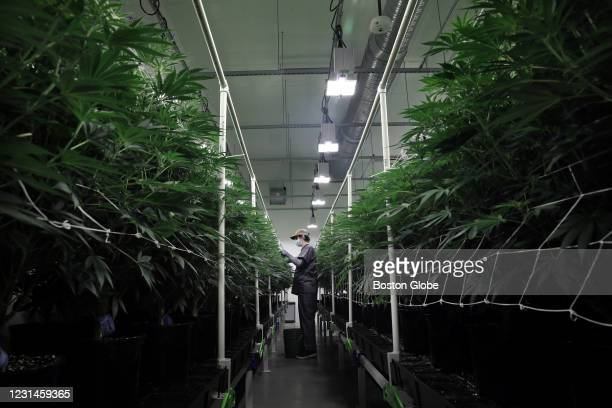 Cultivator Justin Bartlett works in a grow room at Canna Provisions in Sheffield, MA on February 13, 2021.