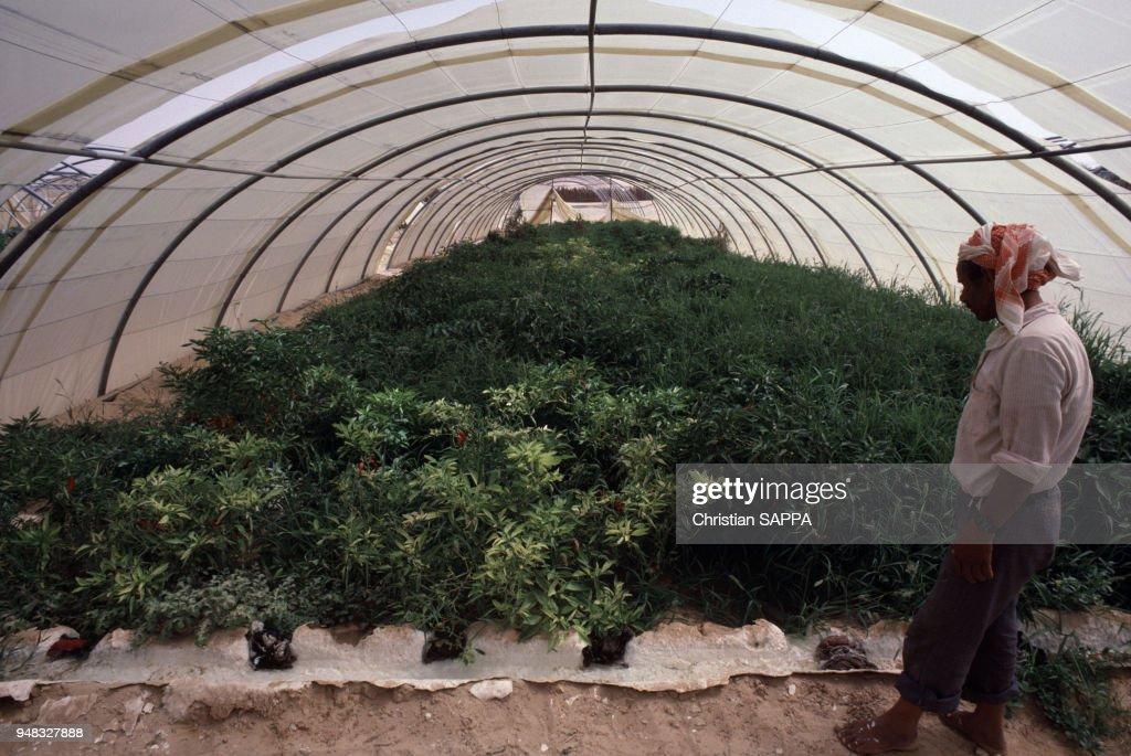 Culture de poivrons à El Oued : News Photo