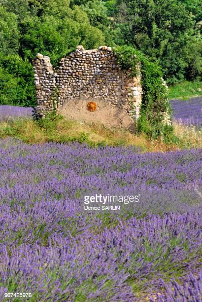 Culture du lavandin dans le vallon du Colostre Riez AlpesdeHauteProvence ProvenceAlpesCote d Azur PACA France
