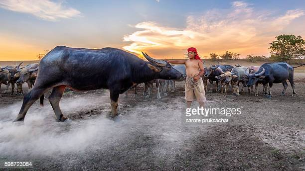 Culture of coexistence of the Boy and Buffalo during sunset