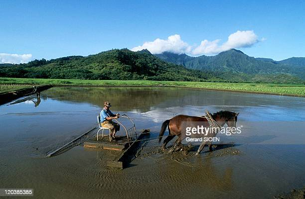 Culture of Taro in Hawaii United States Site preparation