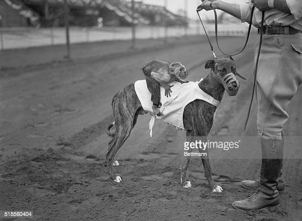Jockeys For The Dog Races Monkeys are now being used as jockeys on the fleet footed Greyhounds at the Culver City Dog Track Here's one of the speedy...