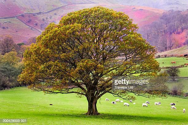 UK, Cumbria, oak tree in field, sheep grazing in distance, autumn