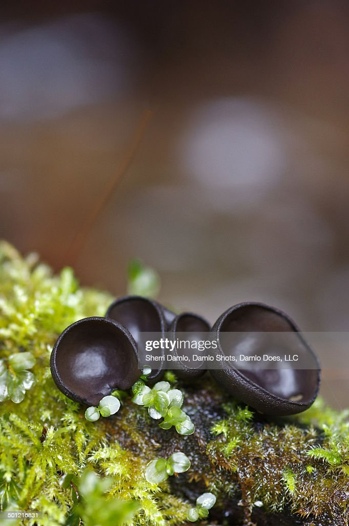 Cupped mushrooms on moss : Stock Photo