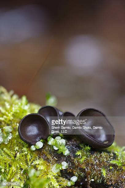 cupped mushrooms on moss - damlo does imagens e fotografias de stock