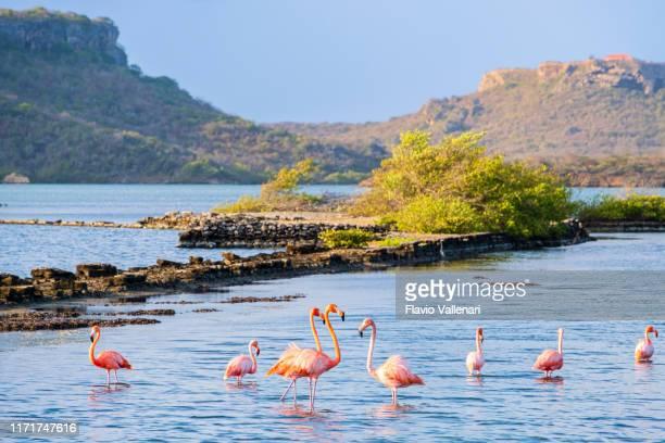 curaçao, flamingo's in de lagune van salina sint marie - curaçao stockfoto's en -beelden