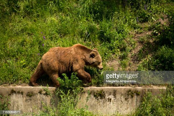 cure brown bear walking in bern city - bern stock pictures, royalty-free photos & images
