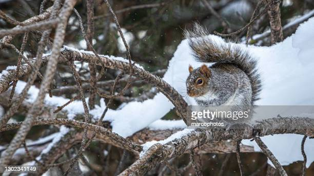 écureuil gris, (sciurus carolinensis), eastern gray squirrel in winter. - national forest stock pictures, royalty-free photos & images