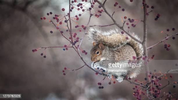 écureuil gris, (sciurus carolinensis), eastern gray squirrel. - gray squirrel stock pictures, royalty-free photos & images
