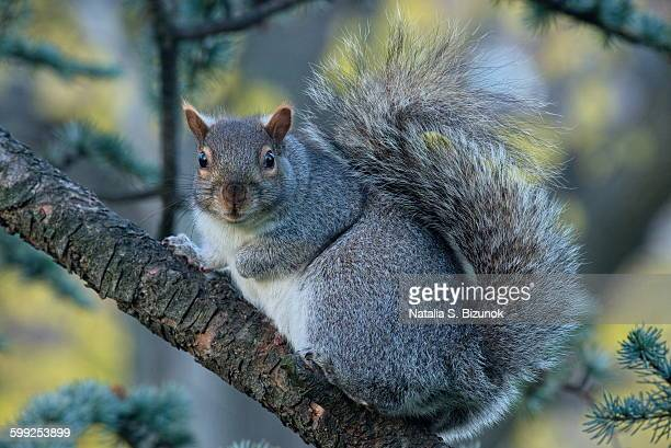 curiosity - eastern gray squirrel stock photos and pictures