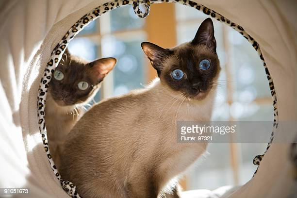 curiosity - siamese cat stock pictures, royalty-free photos & images