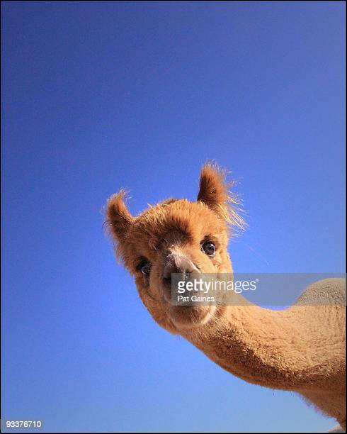 curiosity  - lama stock pictures, royalty-free photos & images