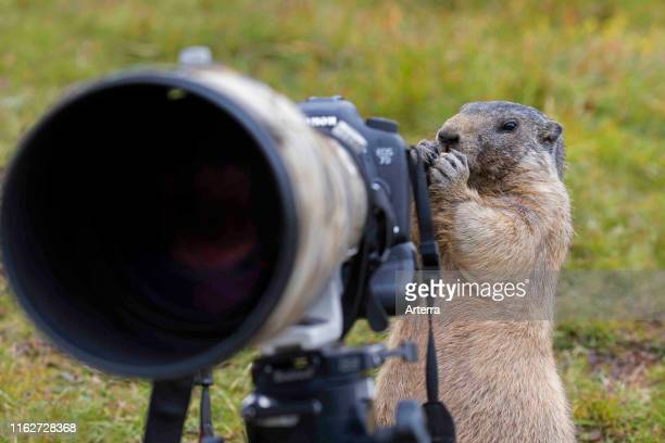 Curious Alpine marmot behind wildlife photographer's Canon camera with large telephoto lens mounted on tripod
